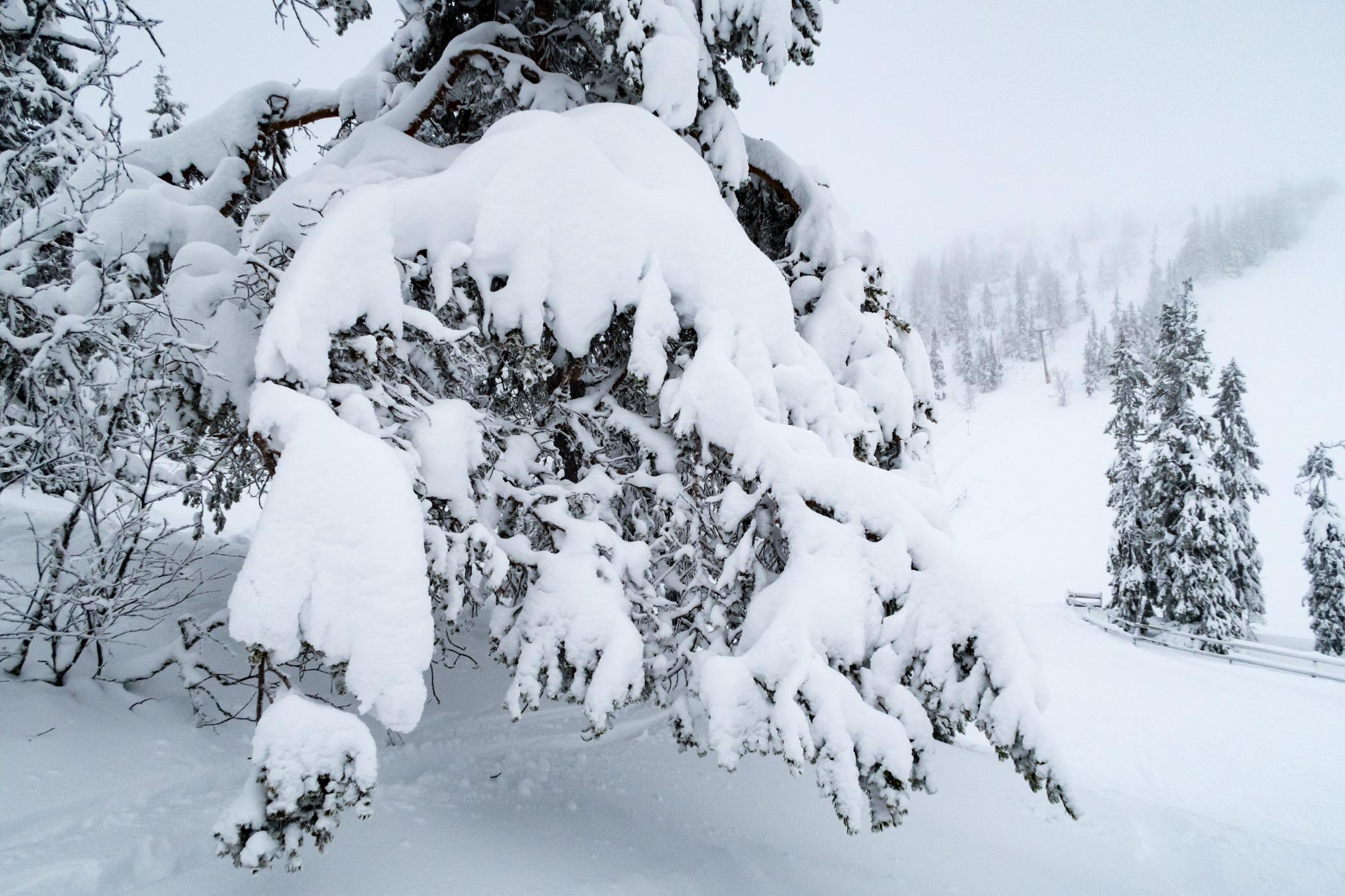 Det er hårdt arbejde at være fyrretræ på Hundfjället // Foto: Troels Kjems